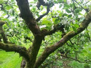 Oude hoogstam fruitbomen